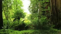 Redwood Forest 09 Stout Grove Stock Footage