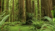 Stock Video Footage of Redwood Forest 03 Stout Grove