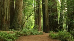 Redwood Forest 13 Stout Grove Stock Footage