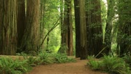 Stock Video Footage of Redwood Forest 13 Stout Grove