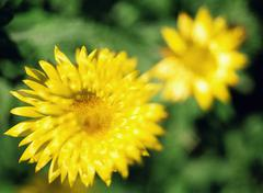 Two Yellow Flowers Stock Photos