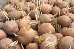 Potatoes tubers before planting Stock Photos