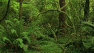 Redwood Forest 06 Stout Grove Stock Footage