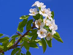 flowering apple branch close-up - stock photo