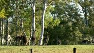 Australia - Kangaroos Stock Footage
