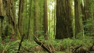 Redwood Forest 17 Stout Grove Stock Footage