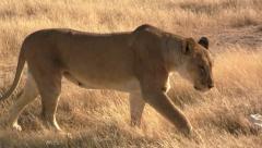 Lion walking towards camera Stock Footage