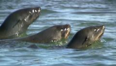 Swimming seals 1 Stock Footage
