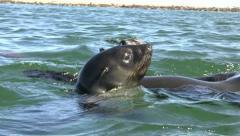 Playful seals - stock footage