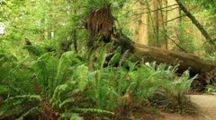 Redwood Forest 07 Stout Grove Stock Footage