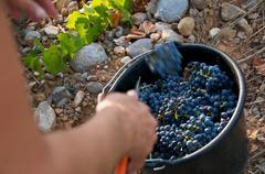 Vines Harvest Stock Photos