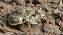 Frog Pelobates fuscus on ground after rain Stock Footage