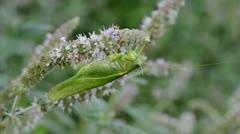 Green grasshopper on mint blossom Stock Footage