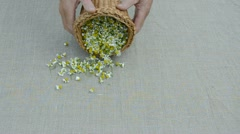 Fresh  medical herbs chamomile blossoms on linen cloth Stock Footage