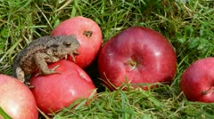 Red apples  and amphibian big common toad (Bufo bufo) Stock Footage
