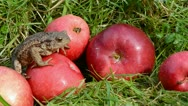 Stock Video Footage of red apples  and amphibian big common toad (Bufo bufo)