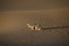 Camel in the desert outside Morocco Stock Photos