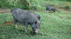 Vietnamese Potbelly Pig Stock Footage