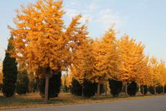 Yellow trees in the fall in a park in Beijing. Stock Photos