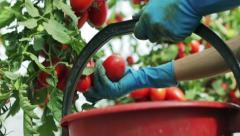 Crop of tomatoes in the greenhouse 2 - stock footage