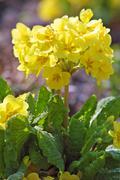 Yellow heartsease flower (viola tricolor) Stock Photos