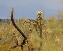 Slow plant death in the desert - jumping cholla browns and dries out Stock Photos