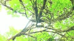Redwood Forest 31 Big Tree Wayside Stock Footage