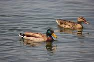 Stock Photo of Mallard ducks