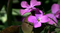 Purple Honesty flower Green Briar Nature Center Sandwich Cape Cod Stock Footage