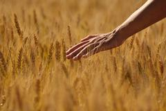 hand in wheat field - stock photo