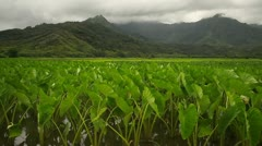 Green Kauai Taro Plantation, Cultivation, Growing, Volcanic Mountain Backdrop Stock Footage