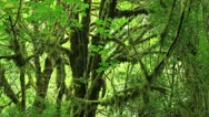 Redwood Forest 37 Big Tree Wayside Stock Footage