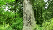 Redwood Forest 38 Big Tree Stock Footage