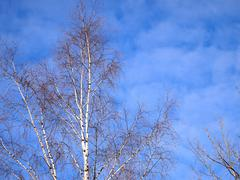 Stock Photo of birch