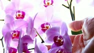 Touching orchid Stock Footage