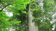 Redwood Forest 40 Big Tree Stock Footage