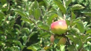 Apple Tree, Branches of Apples, Ecological Apples, Organic Fruits, Apple Orchard Stock Footage