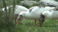 Stock Video Footage of Geese Eating Grass, Close Up, Geese Grazing, Domestic Geese Nibbling Green Grass