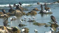 Stock Video Footage of  Cormorants and Seagulls on the Sea, Seabirds