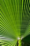 closeup palm leaf - stock photo