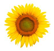 Stock Photo of sunflower isolated