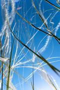 Feather grass Stock Photos