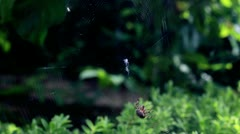 Timelapse of spider spinning web Stock Footage