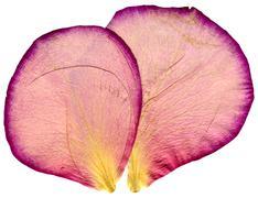 Pair of rose petals.jpg Stock Photos