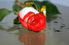 Stock Photo of wet rose