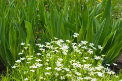 white gentle flowers - stock photo