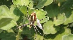 Wasp spider - Argiope bruennichi on his web close-up Stock Footage