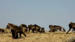 Gelada Baboons Stock Footage