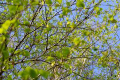 leaves on branches of a tree - stock photo