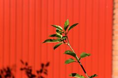green and red cherry - stock photo